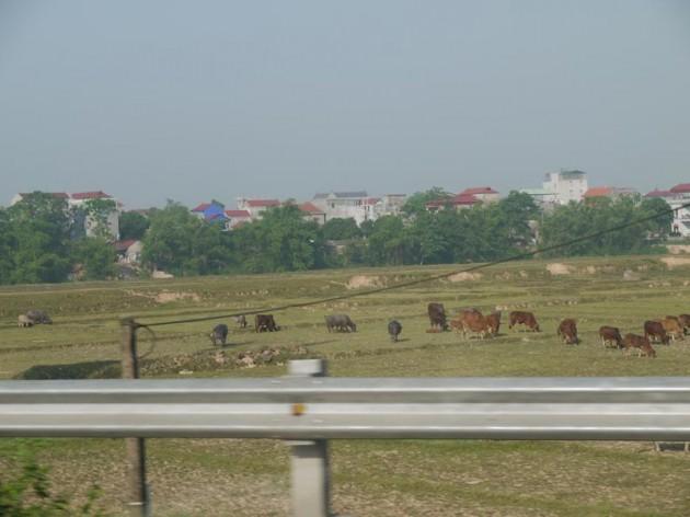 ハノイの牛