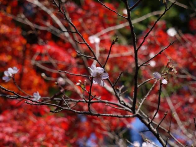 もみぢと寒桜